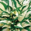 Picture of Hosta Loyalist
