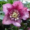 Picture of Helleborus Anemone Centre