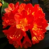 Picture of Clivia Grandiflora