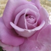 Picture of Heaven Scent Std 80cm-Rose
