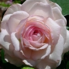 Picture of Pink Ice-Rose