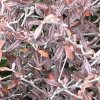 Picture of Corokia Frosted Chocolate