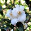 Picture of Camellia Transnokoensis