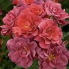 Picture of The Shire-Rose