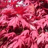 Picture of Acer Okagami