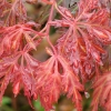 Picture of Acer Orangeola L/W