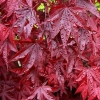 Picture of Acer Red Emperor
