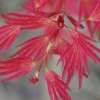 Picture of Acer Wilson's Pink Dwarf