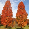 Picture of Acer Columnare