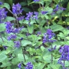 Picture of Nepeta Blue Wonder