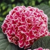 Picture of Hydrangea Macrophylla Machiko