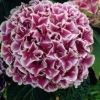 Picture of Hydrangea Macrophylla Nobuko