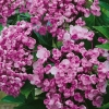 Picture of Hydrangea Ayesha Silver Slipper