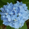 Picture of Hydrangea Blue Prince