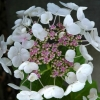 Picture of Hydrangea Libelle
