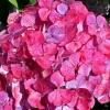 Picture of Hydrangea Preziosa
