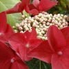 Picture of Hydrangea Red Start
