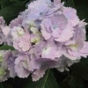 Picture of Hydrangea Tosca