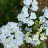 Picture of Hydrangea Trophy