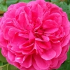 Picture of Sir John Betjeman-Rose