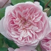 Picture of Wisley 2008-Rose