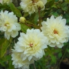 Picture of Banksia Alba-Rose