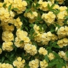 Picture of Banksia Lutea Clg-Rose