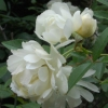 Picture of Banksia The Pearl Clg-Rose