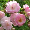 Picture of Blushing Lucy Climbing-Rose