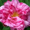 Picture of Rose Rosa Mundi-Rose