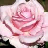 Picture of Memorial Day Std 80cm-Rose