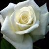 Picture of Titanic-Rose