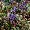 Picture of Ajuga Blueberry Muffin