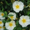 Picture of Cistus Bennetts White