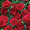 Picture of Dianthus Passion