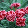 Picture of Dianthus Sugar Plum
