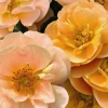 Picture of Flower Carpet Amber std 90cm-Rose