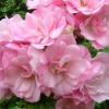 Picture of Flower Carpet Appleblossom-Rose