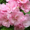 Picture of Flower Carpet Appleblossom Std 90cm-Rose