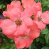 Picture of Flower Carpet Coral-Rose