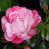 Picture of Flower Carpet Pink Splash Std 90cm-Rose