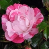 Picture of Flower Carpet Pink Splash-Rose