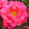 Picture of Flower Carpet Pink Std 90cm-Rose