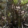 Picture of Ophiopogon Black Dragon