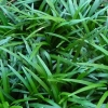 Picture of Ophiopogon Japonicus (Mondo)