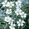 Picture of Cerastium Snow in Summer