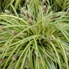 Picture of Carex Evergold
