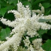 Picture of Astilbe Diamante