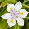 Picture of Dietes Grandiflora