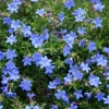 Picture of Lithodora Heavenly Blue